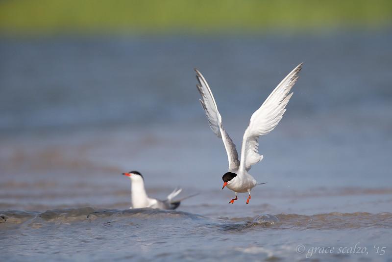 Common Tern leaping after bath_O8U7491.jpg