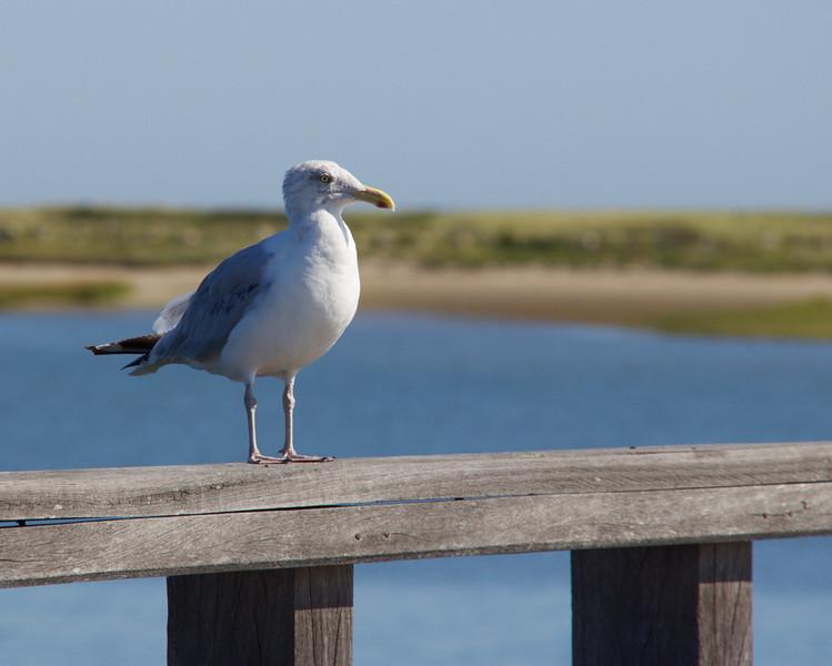 Seagull_Pat Hoffman.jpg