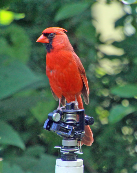 Cardinal on sprinkler