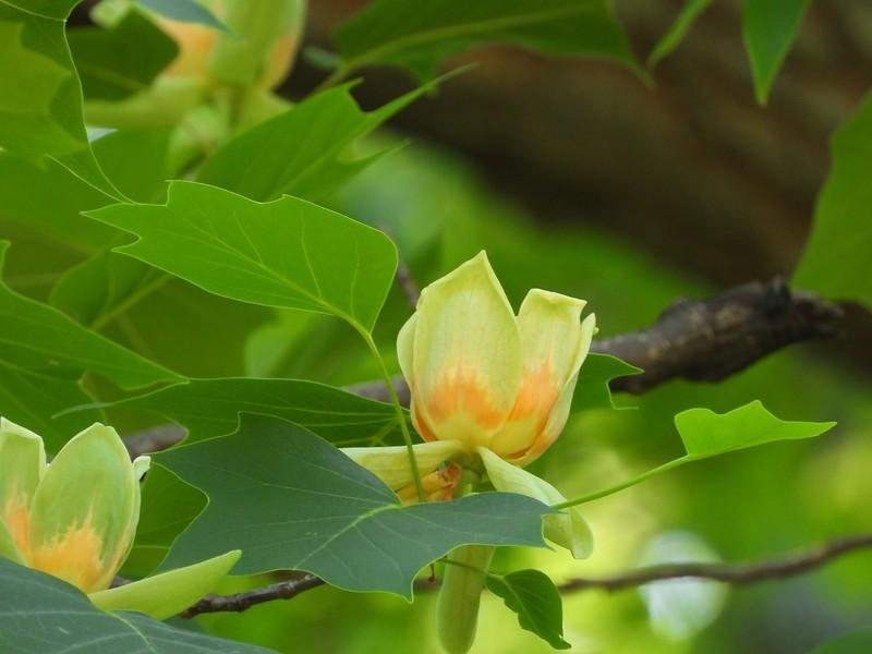 Tulip Tree (Liriodendron tulipifera)