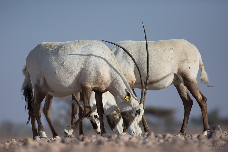 Arabian Oryx (69).jpg