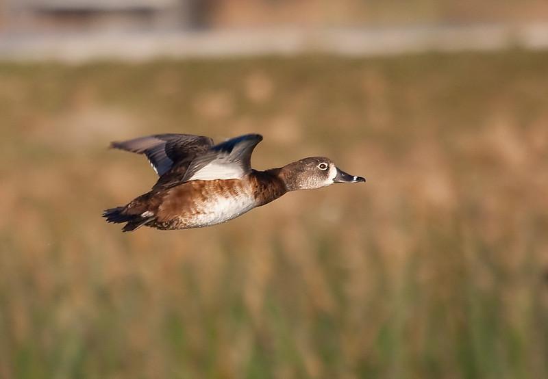 ring necked duck hen