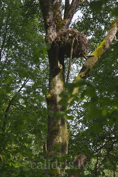 Black Stork artifical nest in a marsh