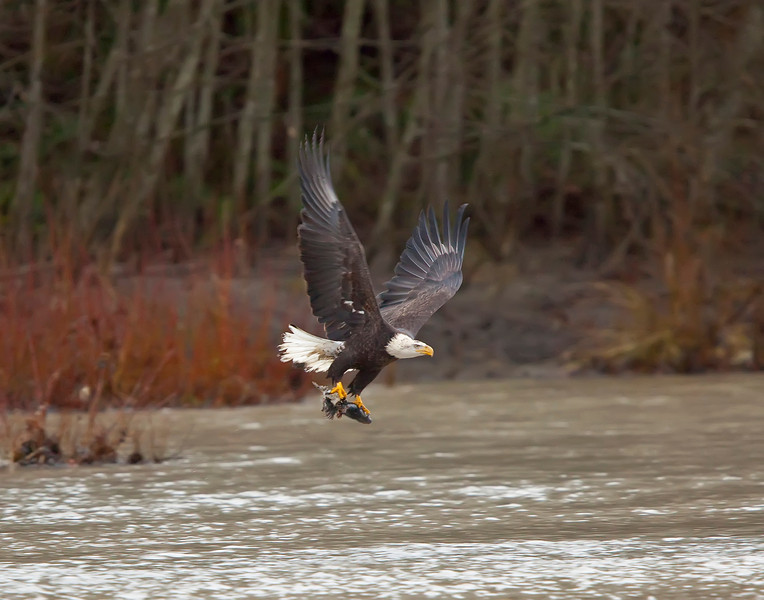 Eagle feeding at Mosquito Lake Road Bridge