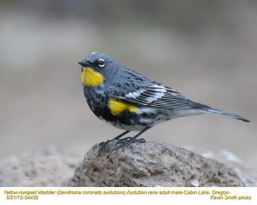 YellowRumpedWarblerAudubonM54432.jpg