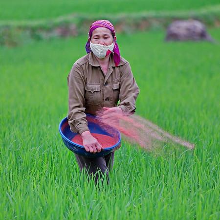 Scene de rizieres
