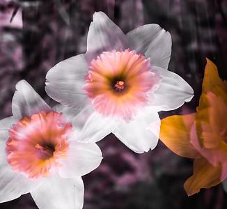 "May 2015 - ""Daffodils"""