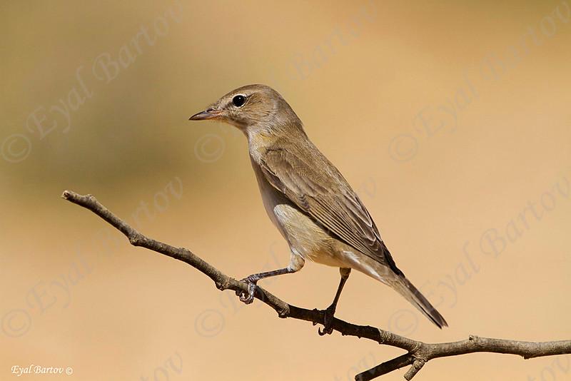 Garden Warbler (Sylvia borin) סבכי אפור