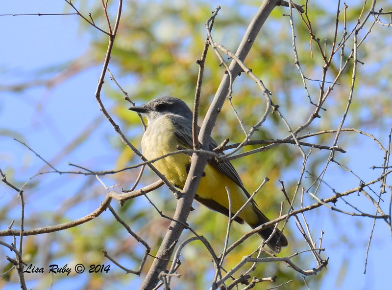 Kingbird (Cassin's or Western?) normally would be Cassin's but this bird's chest looks rather light  - 12/14/2014 - Poway Pond