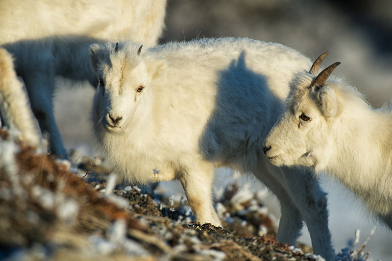 Kluane National Park is the jewel of the parks system in the Yukon Territory, located 1 hour from Haines Junction and 3 hours from Whitehorse. The Alaska Highway passes through the park and Dall Sheep are often found along the highway.