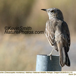 SageThrasher51110.jpg