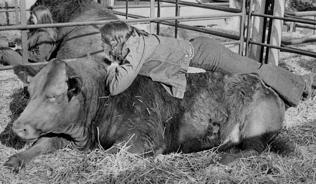 . Sandy O\'Day, 17, Little Falls, Minn., takes a break atop  an obviously gentle critter on display at the National Western Stock Show Monday afternoon. The animal is a South Devon, a light red breed of cattle which originated in western England and is used for the production of milk and beef.  1975. Ernie Leyba, The Denver Post  Credit: Denver Post