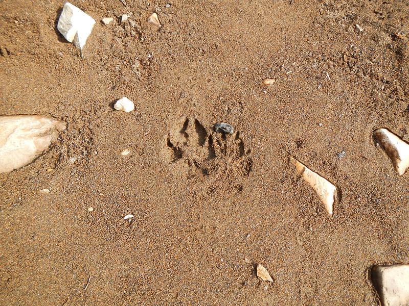 Wolves: Kadake Bay, Kadake Creek, Day #3, Kuiu Island, Alaska, April 2013