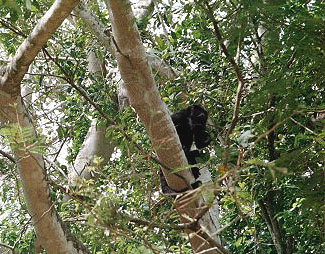 Howler monkey (they do howl!)