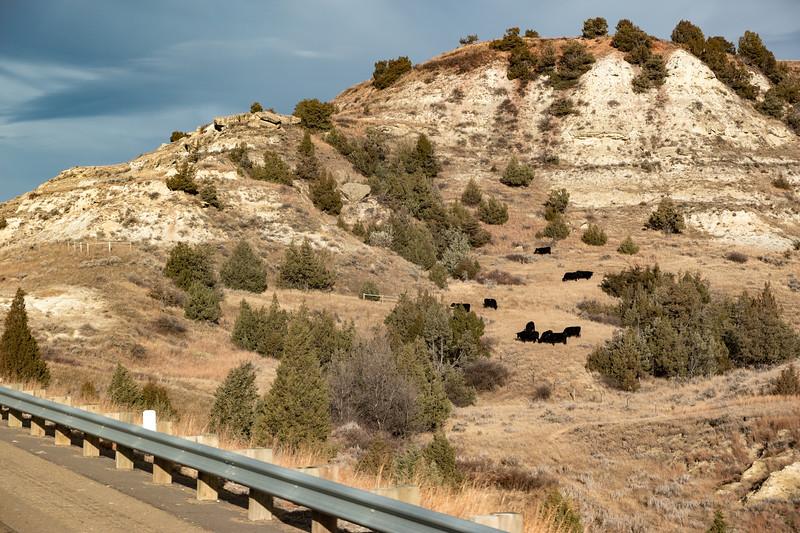 North Dakota Western Badlands Cows