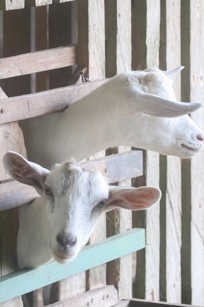 portrait of a goat