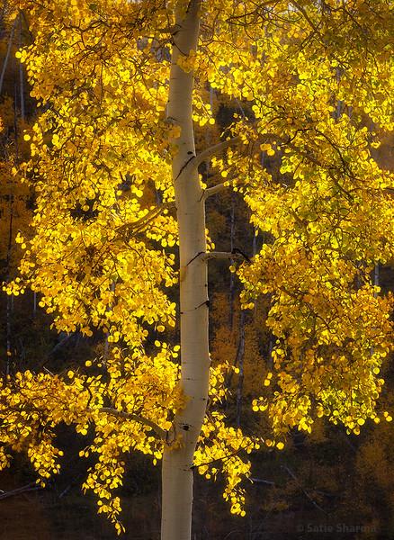 Aspen Gold