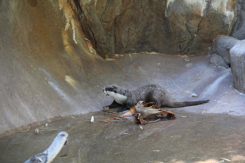 20170807-127 - San Diego Zoo - Otter.JPG