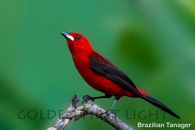 Brazilian Tanager, Peruibe, Brazil