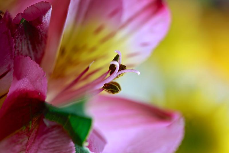 Macro Pink Lily