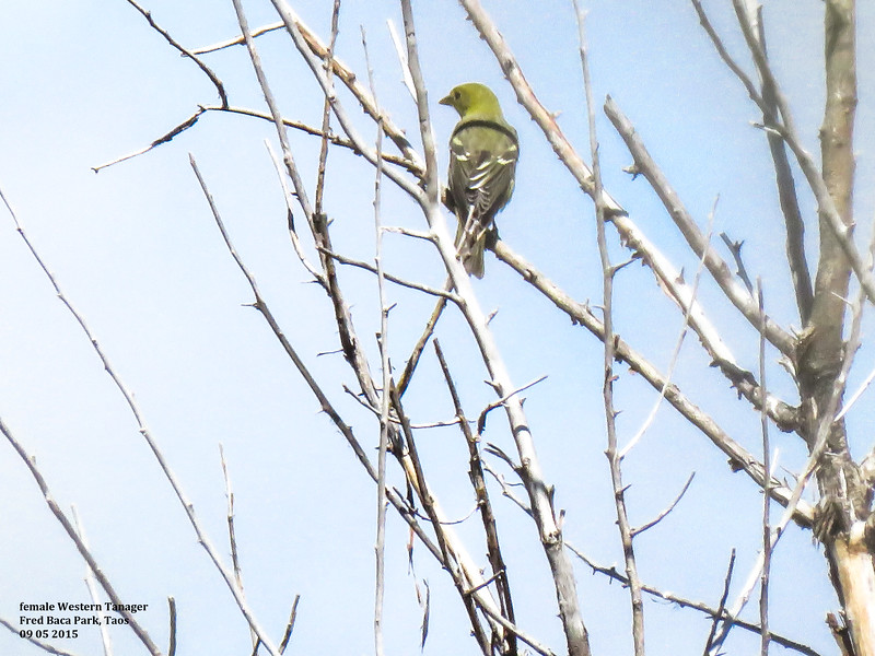 IMG_8630 3T fml Western Tanager Fred Baca.jpg