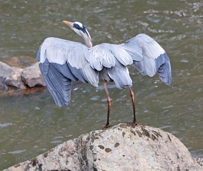 Great blue heron ascending