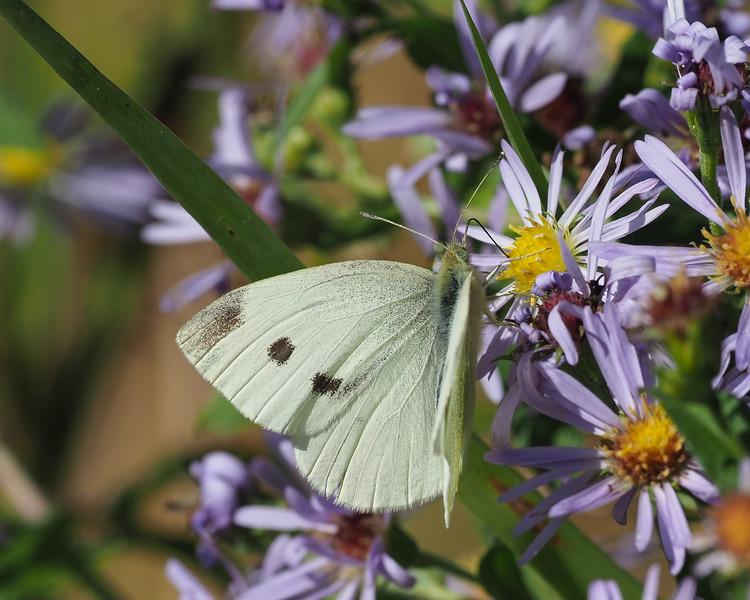 Little White, female