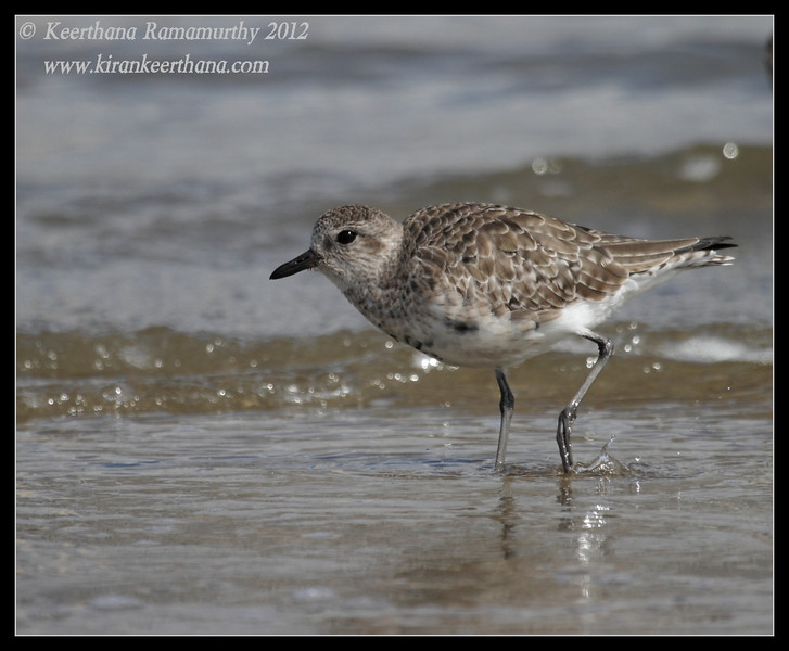Black-bellied Plover, Coronado Ferry Landing, San Diego County, California, February 2012