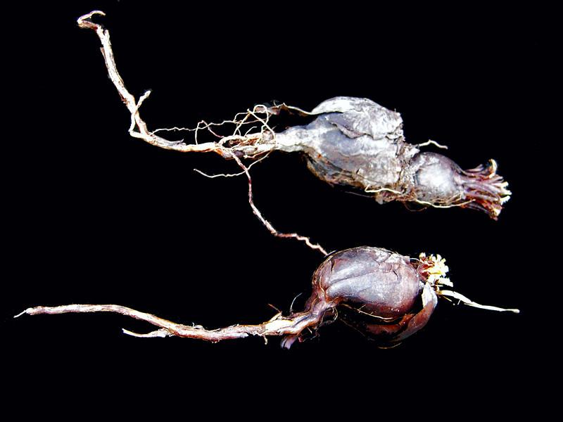 Pelargonium species Eselberg tuber