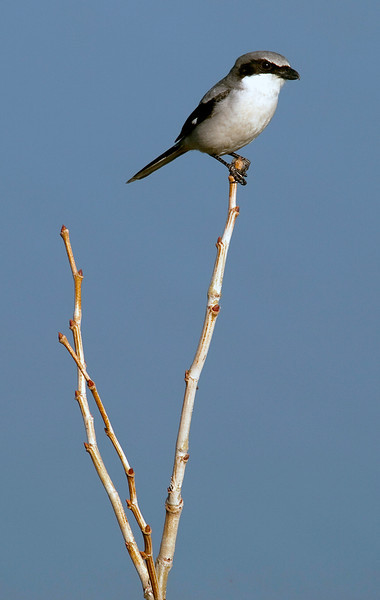 Loggerhead shrike, Willow Waterhole, Houston