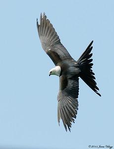 American Swallow-tailed Kite, Elanoides forficatus