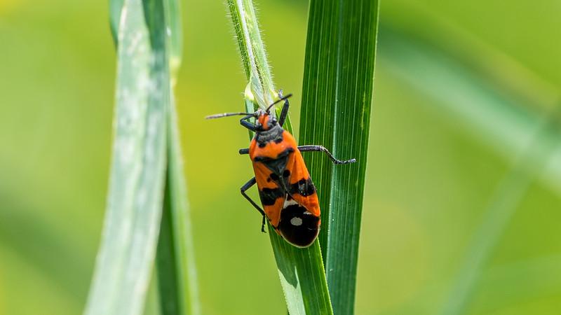 Black-andRed Bug