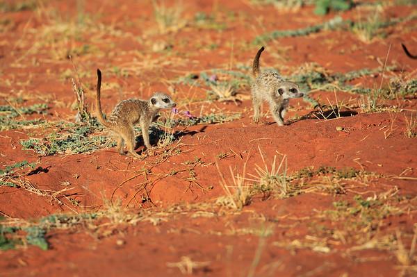 Meerkat Pups Tswalu South Africa 2016