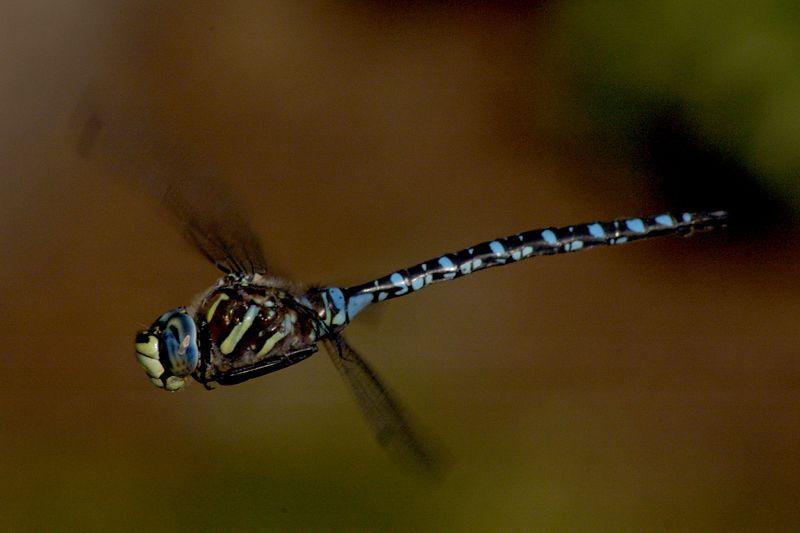 bluedragonflyinflight1.jpg