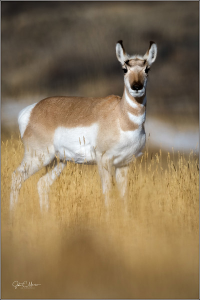 J85_3308 Pronghorn Antelope LPNW.jpg