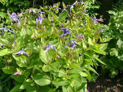 Clematis integrifolia  bloei .jpg
