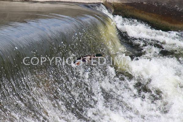Waterfall Mallard