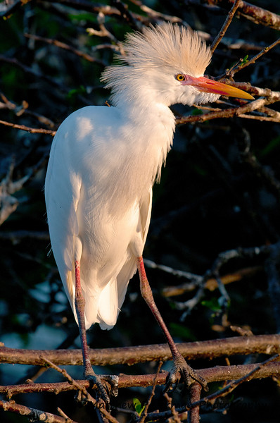 Cattle Egret_5738.jpg