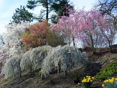 Cherry Blossoms Festival at Branch Brook Park (13 April 2019)
