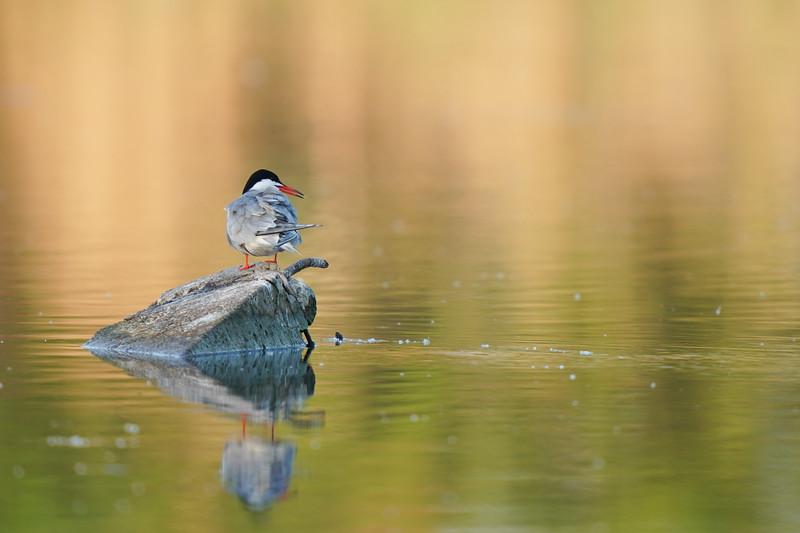 rybitwa rzeczna | common tern | sterna hirundo