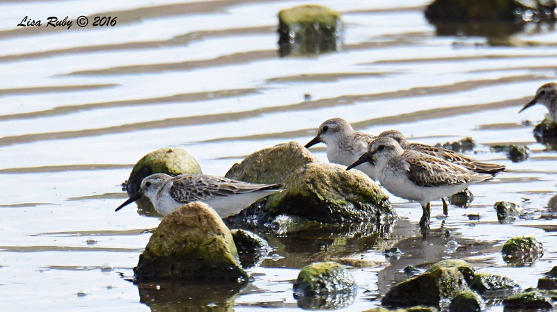 Western Sandpipers  - 9/4/2016 - Sweetwater Reservoir