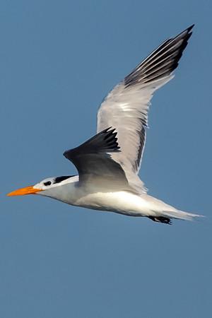 Royal Terns