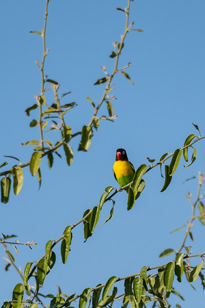 Lovebird, Yellow-collared
