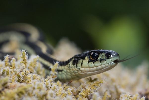 Reptiles of BC