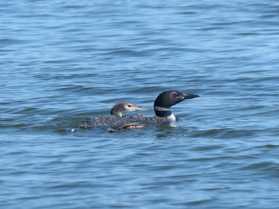 20170910 Common Loon