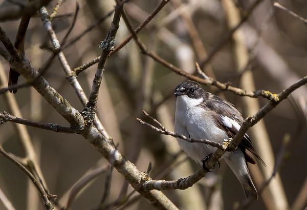 Kevään lintuja