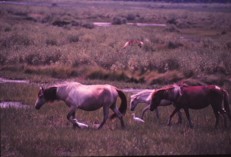 Chincoteague 1981-07 007.jpg