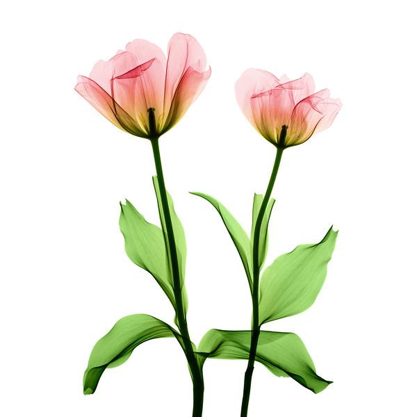 Tulip_Xray_002 - Colorized on White.jpg