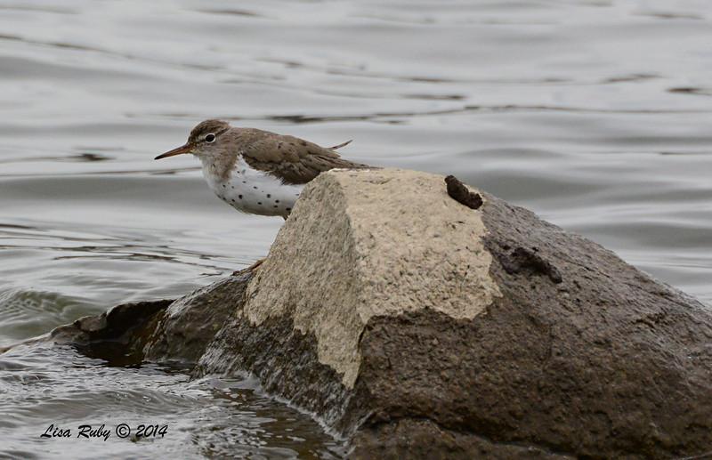 Spotted Sandpiper - 4/4/14 - Lake Hodges, near Lake Shore Drive