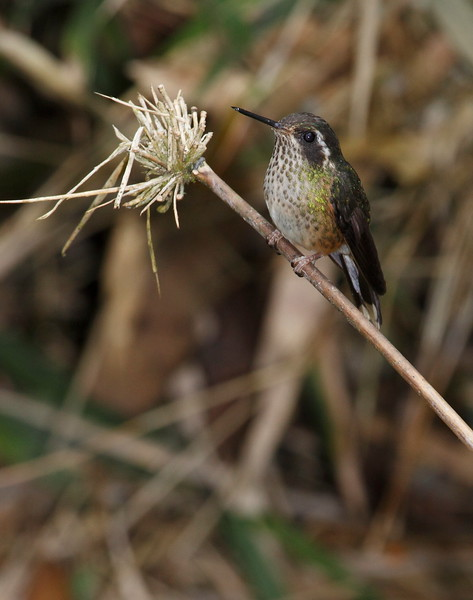 Speckeled Hummingbird Ecuador